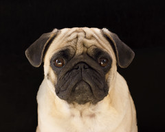 Sad dog pug on a black background (yannamelissa) Tags: black pug background dog isolated portrait sad happy looking cute face closeup eyes front pet studio animal expression domestic adorable friend canine breed purebred pedigree wrinkles puppy white funny young one brown nobody cheerful view shot mammal big playful camera beautiful small square pedigreed old new year 2018