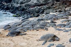 Lots of Turtles in Paia, Maui, Hawaii (Ren Photography) Tags: hawaii unitedstates us