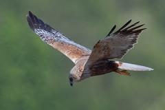 Marsh Harrier (male) May 2018 (jgsnow) Tags: bird raptor harrier marshharrier flight male