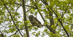Barred Owl.... (Kevin Povenz Thanks for all the views and comments) Tags: 2018 may kevinpovenz westmichigan michigan ottawa ottawacounty ottawacountyparks grandravinesnorth owl barredowl bird birdsofprey nature outdoor outside wildlife canon7dmarkii sigma150500 tree morning nosky