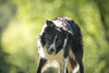 21/52 Dancing in the Sunlight (JJFET) Tags: border collie dog sheepdog herding 52 weeks for dogs paddy