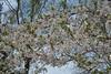 Cherry blossoms (hogtown_blues) Tags: toronto ontario canada highpark torontoparks cherryblossoms torontospring spring springtime