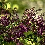 2018-05-23   -    Purple Lilac  - thumbnail