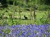 Silhouette (Elisa1880) Tags: nederland netherlands silhouette konijn blue bells boshyacinten den haag the hague