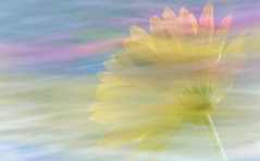 Reflecting on Spring Dreams (Charles Opper) Tags: canon daisy intentionalcameramovement spring color doubleexposure dreamy flower light macro motionblur nature pastel soft georgia icm multiple exposure