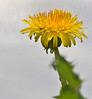 Dandelion (Jo Zimny Photos) Tags: theflickrlounge ae d dandelion insidethehoophouse yellow bloom green leaves white walls plastic