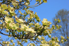 Dogwood (Jen_Vee) Tags: trees dogwood nationalparks valleyforge flowers bloom sky blue spring