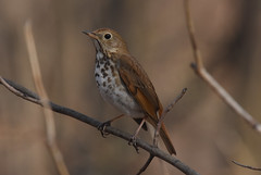 Hermit Thrush (aj4095) Tags: hermit thrush nature wildlife spring
