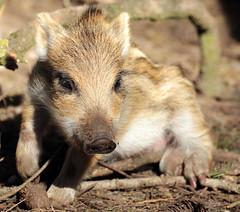 Wild boar Apenheul BB2A9134 (j.a.kok) Tags: zwijn everzwijn wildzwijn boar wildboar babyboar babypig babyzwijn big piglet bergendal apenheul