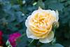 与野公園バラ園2018 (Norio.NAKAYAMA) Tags: rose omiya eoskissm 与野公園 埼玉 さいたま市 park 公園 大宮 バラ 日本 japan saitama