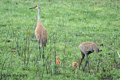 Sandhill Crane family (LC10S) Tags: deer grove east palatine il sandhill crane family colts spring prairie bike path preserve