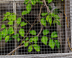 Nature Caged (augphoto) Tags: augphotoimagery green leaves mesh nature screen vines prosperity southcarolina unitedstates