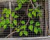Nature Caged (augphoto) Tags: augphotoimagery green leaves mesh nature screen vines prosperity southcarolina unitedstates