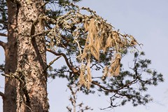 High up on a twig (atranswe) Tags: dsc4198 sweden sverige västernorrland ångermanland väja latn62°5818lon e17°42″ tall pine lav lichen himmel sky atranswe