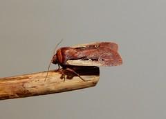 Flame Shoulder Moth (Ochropleura plecta) (Nick Dobbs) Tags: insect moth flame shoulder ochropleura plecta noctuidae noctuinae dorset nocturnal