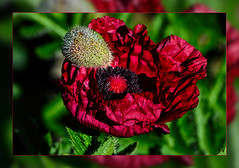 Red poppy flower opens in the morning dew (scorpion (13)) Tags: red poppy flower morning dew blossom color creative frame photoart nature sun spring droplets