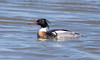 _U7A1662 (rpealit) Tags: scenery wildlife nature edwin b forsythe national refuge drake redbreasted merganser bird duck