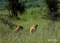 Look at the camera (khelan919) Tags: animalplanet nature wildlifephotography brother photography wildlife kenya nairobinationalpark lions