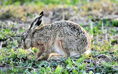Time to eat. (pstone646) Tags: hare conjoe nature mammal animal wildlife closeup feeding elmley kent fauna
