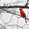 cardinal (Amore_Photography) Tags: birds birdwathing seagull bluejay nutcracker cardinal nikon nature wildlfie wild statenisland newyork explore hiking love colors
