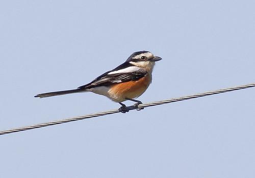 Masked Shrike_18-04-21_