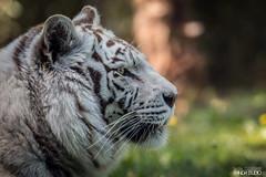 IMG_7606 (PandaStudio.fr) Tags: tigre tiger zoo lafleche zoolafleche
