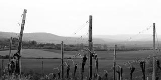 Frühling im Weinberg - Springtime in the Vineyard