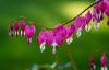 Bleeding Hearts (jlucierphoto) Tags: flowers spring colors jameslucier nikon d7100 macro