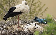 una semana de vida (emiliosh84) Tags: aves cigüeñas pueblo campo naturaleza crias crías nido