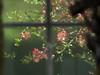 Spring through the Window (joeldinda) Tags: olympus omdem1mkii em1 omd em1ii 2018 home mulliken potter kitchen interior window ship model lawn bush tree quince branch 4092 may