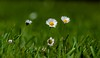 ... der Sonne entgegen (gabrieleskwar) Tags: blumen grün gras gänseblümchen outdoor farbe blüte blüten wiese