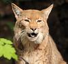 european lynx Duisburg BB2A4744 (j.a.kok) Tags: lynx europe europa europeselynx europeanlynx cat kat predator mammal animal zoogdier dier duisburg