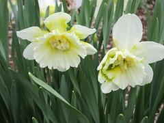 **Humbles jonquilles ** (Impatience_1(retour progressif)) Tags: jonquille daffodil fleur flower printemps spring m impatience saveearth supershot coth coth5 alittlebeauty sunrays5 fantasticnature