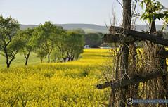 Niederöstereich Weinviertel Seebarn_DSC1006A (reinhard_srb) Tags: niederöstereich weinviertel seebarn frühling sonne abend ambiente raps feld acker landwirtschaft bäume gelb aussaat blüte hochstand verfallen jäger frucht