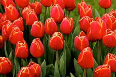 Tulips (YY) Tags: tulips tulip flower flowers netherlands keukenhof red lisse southholland