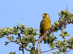 Greenfinch male (themadbirdlady) Tags: passeriformes fringillidae chlorischloris europeangreenfinch southalloans8790