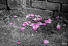 Rose Petals (Jakesb_001.NEF) Tags: flower flowers patels rose patel color colour black white gray pink purple flora floral ground beautifullflowers dying fall falling wall brick brickwall city citylife urbanjungle urbanjunge outdoor europe enjoy european relaxing road relax travel traveling walking walk upclose spring plant plants priroda park serbia srbija sad street serbian streets flickr from grass habitat home vojvodina leaf life closeup cvece cvijece cvet cvijet beautifull novisad novi macro magenta