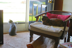 Millie and Gracie 30 April 2018 9212Ri 4x6 (edgarandron - Busy!) Tags: cat cats kitty kitties tabby tabbies cute feline gracie patchedtabby millie graytabby