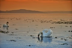 Swans at Sunset (andycaitens) Tags: swans sunset landscape ayrshire clydecoast riverclyde