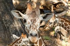 Dilly (shutterbugdancer) Tags: africansavanna animals reticulatedgiraffe fortworthzoo fortworth