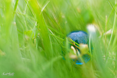 Blue Marble In the Grass (Scott Stults) Tags: blue marble grass camera canon eos rebel t6i lens used ef 50mm f18 stm exposure program aperture priority focal length 1640 sec iso 100 extension tubes 13mm
