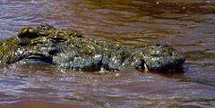 1193 - OMO RIVER ETIOPIA-2013-01 Novembre-Arba Minch- Safari sul lago Cha'mo-Coccodrillo (tomorme) Tags: animali rettili lago etiopia