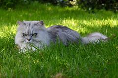 (140/365) Sunday May 20th (philk_56) Tags: cat grass garden