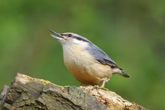 IMGP4654c Nuthatch, Barnwell C.P., April 2018 (bobchappell55) Tags: barnwellcountrypark northamptonshire wild wildlife nature bird woodland nuthatch sittaeuropaea