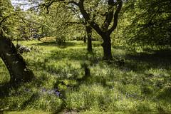 Sunlight Shadows & Bluebells (Elaine 55.) Tags: rufford ruffordoldhall bluebells shadows sunlight