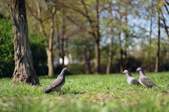 cool and the gang... of 2 new members (Ola 竜) Tags: pigeons grass tree three 3 1plus2 2 two one leader gang birds doves animals green dof fujixt10 rolleiplanar5018 bokeh manualfocus pigeon lowpov spring greenery nature park lawn wildlife