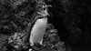 Size doesn't matter! (thethoughtbadger) Tags: galapagospenguin cute outragedpenguin callingout penguinphtography islandisabela galapagos islandrocks volcanicisland lavarocks
