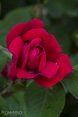 Rose (Rom4rio Photography) Tags: nikon nikkor nikond3100 nature amateur flower color red beautiful