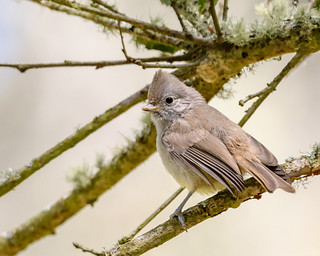 Oak Titmouse (immature)