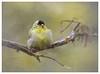 Feathers are in this year (Krasne oci) Tags: bird americangoldfinch nature wild backyardbirds texturedphoto photoart painterly evabartos